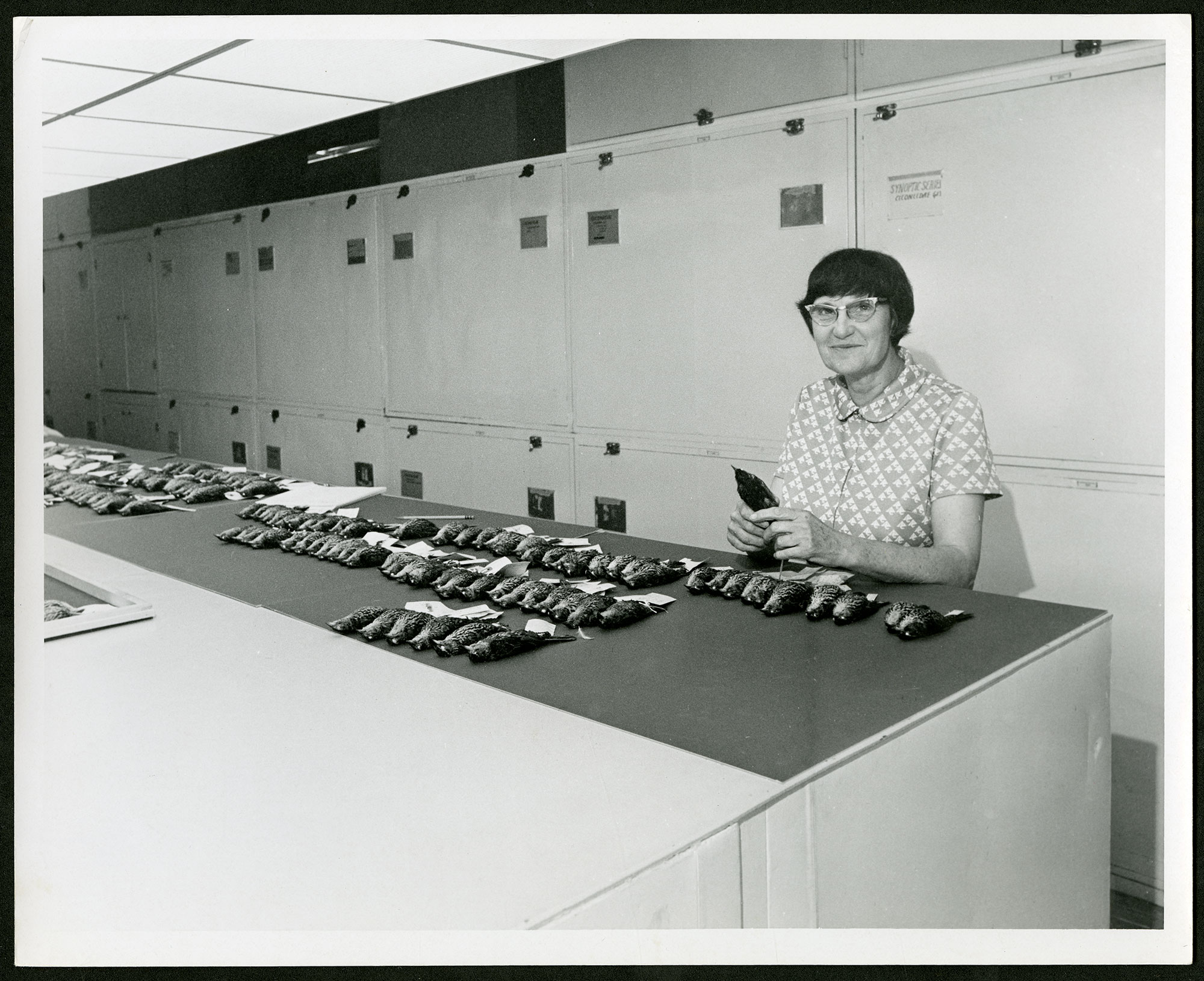 Ornithologist Roxie Laybourne in Birds Division with dozens of a single species of songbird laid out in rows, Smithsonian's National Museum of Natural History, Image ID# SIA2014-07445.
