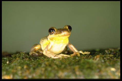 Neotropical frog, Smithsonian Tropical Research Institute, by Carl C. Hansen, Color slide, Smithsonian Institution Archives, Negative Number: 91-14462.