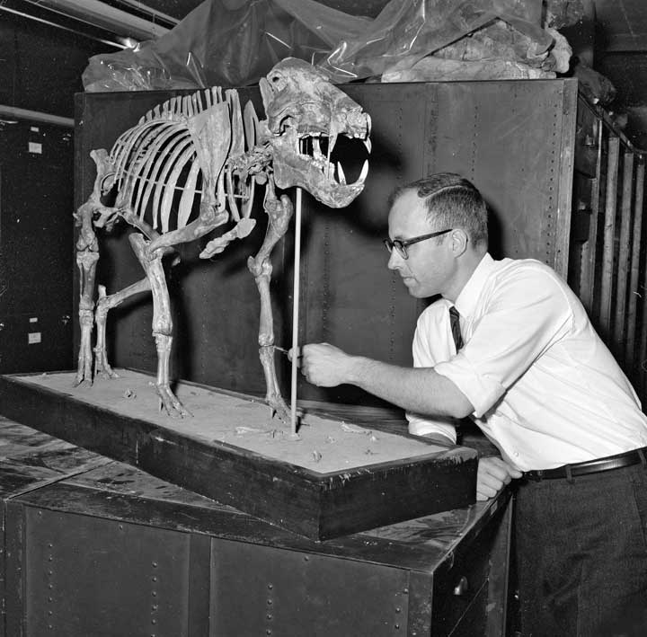 Peccary skeleton being assembled for exhibit, c. 1966, by Unidentified photographer, Photographic ne