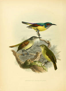 From A Monograph of the Nectariniidae, or, Family of Sun-birds