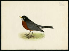 Robin, watercolor on paper by Robert Ridgway, date unknown, Smithsonian Institution Archives, Robert