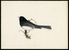 Junco, watercolor on paper by Robert Ridgway, date unknown, Smithsonian Institution Archives, Robert