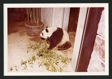 Hsing-Hsing, male panda, April 20, 1972.