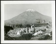 Andean Geese in Peru, by Hilda Heller. Accession 13-197 - Watson Davis Papers, Smithsonian Institution Archives. Neg. no. SIA2013-05509.