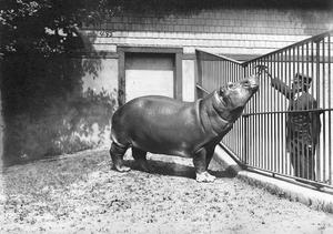 Zookeeper feeds hippopotamus through iron fence, Date unknown, by Unidentified photographer, Photographic print, Smithsonian Institution Archives, Negative Number: 2002-21718.