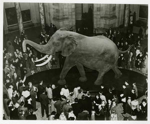 Unveiling of Fénykövi Elephant at NMNH, March 6, 1959.