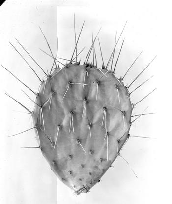 No. 6362, Probably Opuntia toumeyi, Santa Catalina Mountains, near Tucson, Arizona, 3/19/1910, #9930, Courtesy of Joe Shaw, Record Unit 7370 - David Griffiths Collection, circa 1900-1920, Smithsonian Institution Archives.