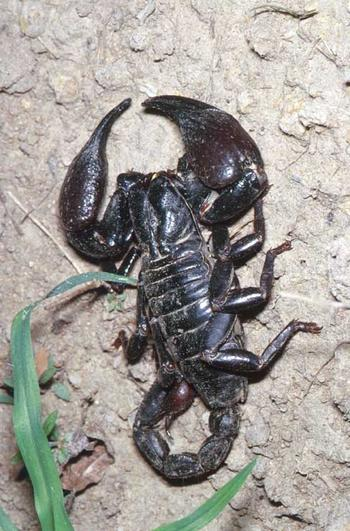 Scorpion photographed during an Entomological Field Course.