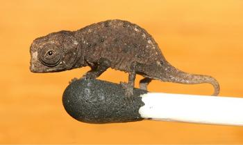 A juvenile Brookesia micra standing on the head of a match. Creative Commons Licence courtesy Wikimedia Commons, Frank Glaw, Jörn Köhler, Ted M. Townsend, Miguel Vences.