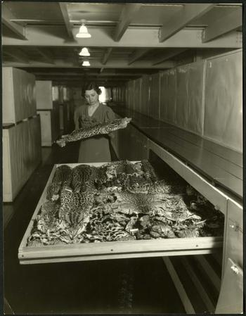Viola S. Schantz, surveying pelts from a storage drawer, 1930s (?), Photographic Print, Record Unit 7288 - Viola Shelly Shantz Collection, 1961-1962 and undated, Smithsonian Institution Archives, Neg. no. SIA2013-03085.