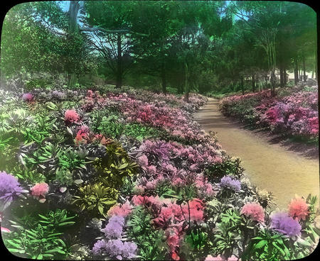 Rhododendrons-Golden Gate Park-San Francisco, California.
