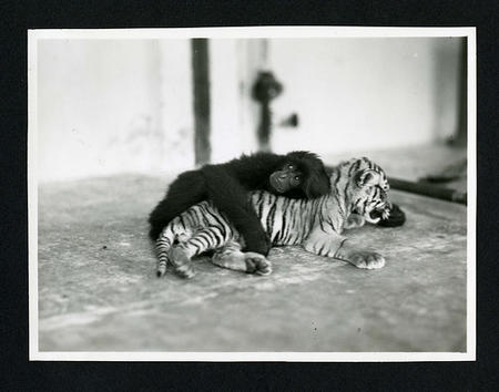 Primate and tiger cub  photographed during the National Geographic Society-Smithsonian Institution E