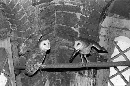 Barn owls, named 'Increase' and 'Diffusion,' living in the West Tower.