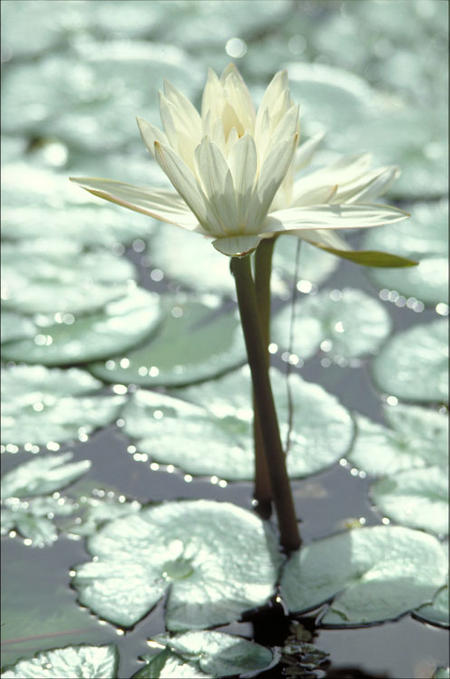 Water lily, Smithsonian Tropical Research Institute.