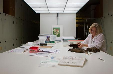 Ornithologist, Carla Dove, works through the feathers of the stuffed birds to find one that matches