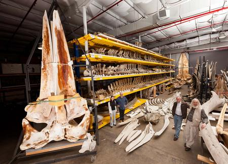 Laid out on the floor of the Marine Mammal Collection building at the Garber Facility in Suitland, Md., the recently acquired skeleton of a gray whale is a much welcome addition.