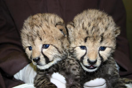 Cheetah Cubs, May 23, 2012, courtesy of the National Zoological Park.