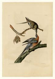 Passenger pigeon illustration by John James Audubon, 1827-1838, University of Pittsburgh.