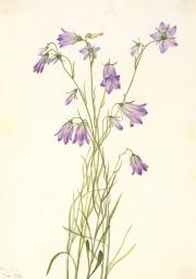 Harebell (Campanula rotundifolia), watercolor on paper by Mary Vaux Walcott, 1916, Smithsonian Ameri