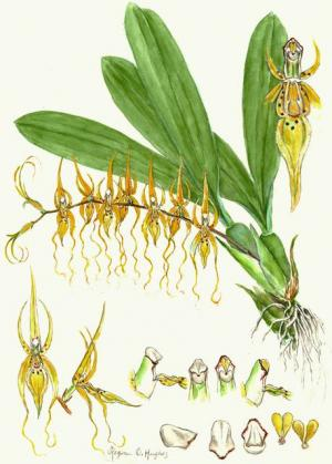Brassia caudata (Orchidaceae) watercolor by Regina O. Hughes, c. 1980, National Museum of Natural Hi