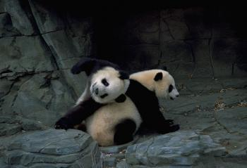 Two Giant Pandas playing in their enclosure.