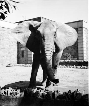 African elephant at the National Zoo, Record Unit 365, Smithsonian Institution Archives, neg. no. 97-3046.