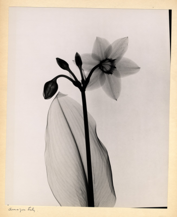 Amazon Lily, Dr. Dain Tasker, radiograph, 1930s. Smithsonian Institution Libraries.