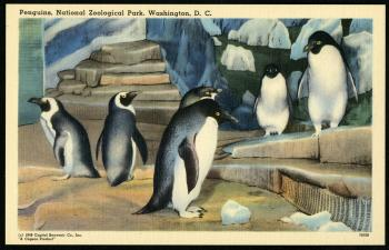 Postcard of Penguins at the Zoo, Capitol Souvenir Company, 1948, Record Unit 365, Smithsonian Institution Archives, neg. no. SIA2013-06609.
