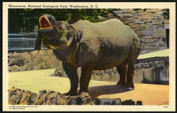 Postcard of Rhinoceros at the Zoo, Capitol Souvenir Company, 1948, Record Unit 365, Smithsonian Institution Archives, neg. no. SIA2013-06623.