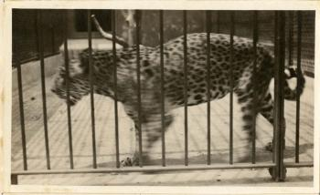 Jaguar at the National Zoo, by Martin A. Gruber, c. 1920-1924, Record Unit 7355 - Martin A. Gruber Photograph Collection, 1919-1924, Smithsonian Institution Archives, neg. no. SIA2010-2385.