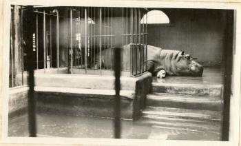 Hippopotamus at the National Zoo, by Martin A. Gruber, c. 1920-1924, Record Unit 7355 - Martin A. Gruber Photograph Collection, 1919-1924, Smithsonian Institution Archives, neg. no. SIA2010-2403.