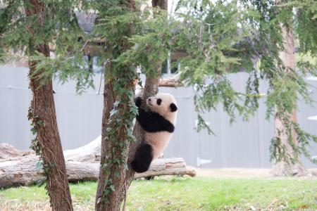 Bao Bao's second day outside, April, 2, 2014. By Abby Wood, Courtesy of the National Zoological Park