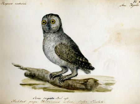Berlandier Owl (Strix torquata), Record Unit 7052 - Jean Louis Berlandier Papers, Box 12, Folder 13,