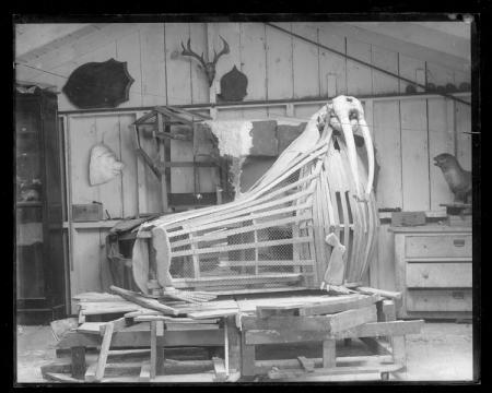 Frame of Walrus in Taxidermy Shop