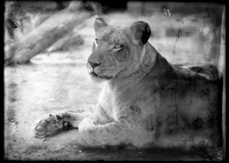 Female Lion, Trilby, at the National Zoological Park