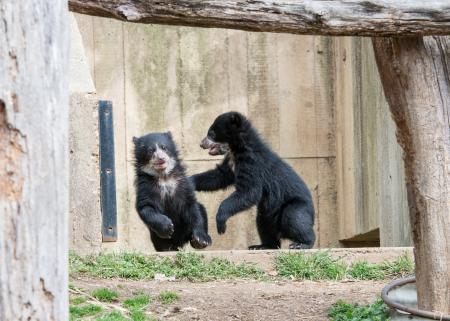 Smithsonian's National Zoo Andean Bear cubs, Mayni (L) and Muniri (R), by Abby Wood, March 19, 2015, National Zoo.
