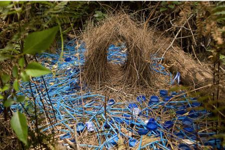Bowerbirds design and build elaborate nests to attract mates.
