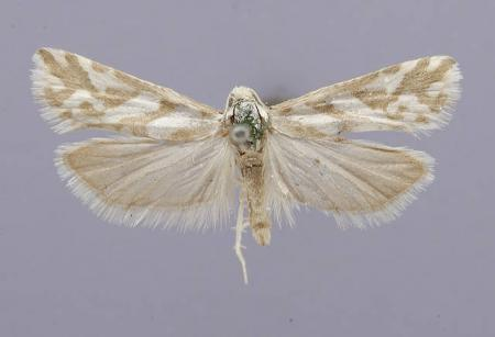 Eucosma ragonoti barnesiana Dyar, 1903, Collected by Harrison G. Dyar, National Museum of Natural Hi
