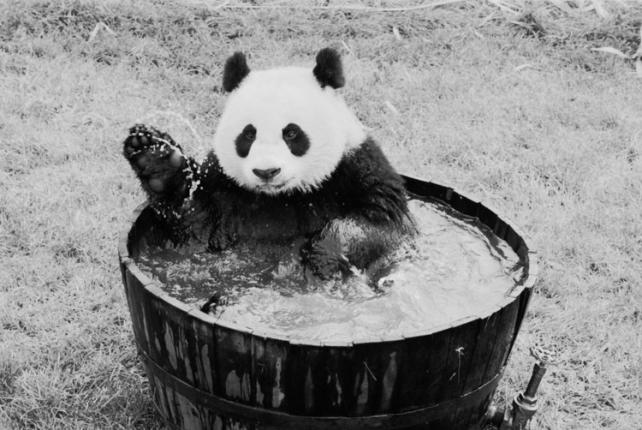 Giant Panda Ling-Ling in tub at National Zoo.