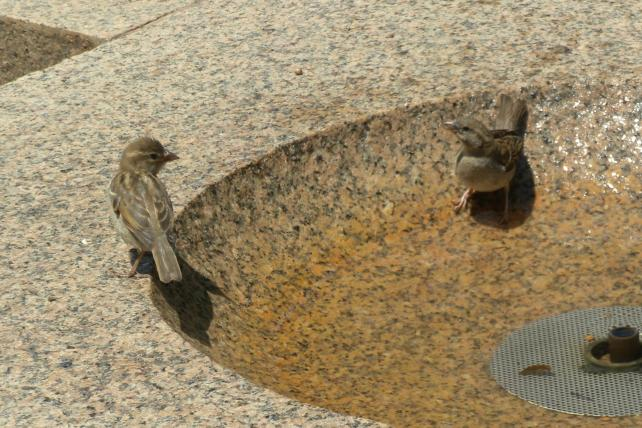 Female House Sparrows in Fountain Bowl.