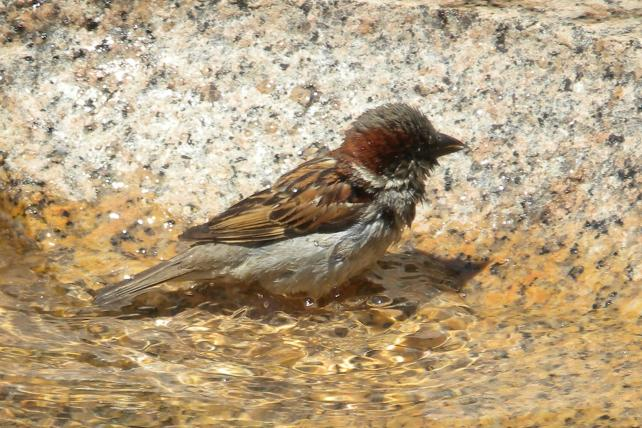 Male House Sparrow in Fountain Bowl.
