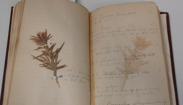 Botanical Specimen, Accession 12-130 - Jesse Herman Holmes Field Notes
