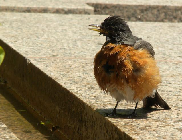 American Robin after bathing