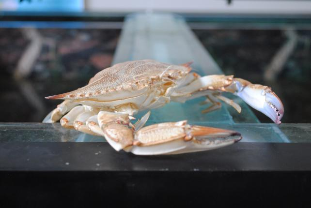 A crab shell on an aquarium at the Reed Education Center. Photo by Kira Sobers, September 12, 2015.