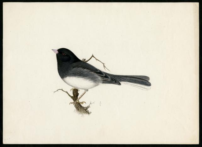 Robert Ridgway drawing of a junco, Record Unit 7167 - Robert Ridgway Papers, circa 1850s-1919, Smith