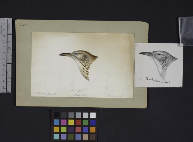 Bird head drawing by Robert Ridgway, Record Unit 7167 - Robert Ridgway Papers, circa 1850s-1919, Smithsonian Institution Archives, Neg. No. SIA2014-00594b.