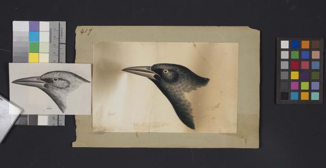 Bird head drawing by Robert Ridgway, Record Unit 7167 - Robert Ridgway Papers, circa 1850s-1919, Smithsonian Institution Archives, Neg. No. SIA2014-00867b.