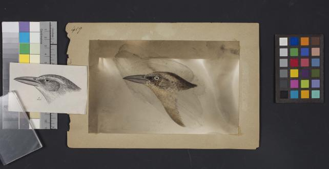Bird head drawing by Robert Ridgway, Record Unit 7167 - Robert Ridgway Papers, circa 1850s-1919, Smithsonian Institution Archives, Neg. No. SIA2014-00868b.