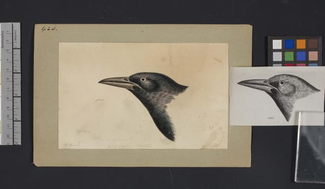 Bird head drawing by Robert Ridgway, Record Unit 7167 - Robert Ridgway Papers, circa 1850s-1919, Smithsonian Institution Archives, Neg. No. SIA2014-00869b.