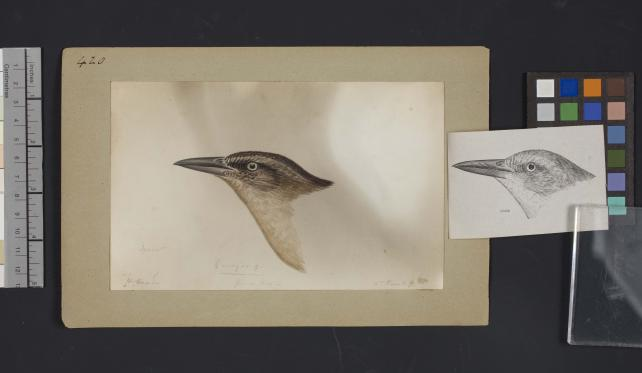 Bird head drawing by Robert Ridgway, Record Unit 7167 - Robert Ridgway Papers, circa 1850s-1919, Smithsonian Institution Archives, Neg. No. SIA2014-00870b.